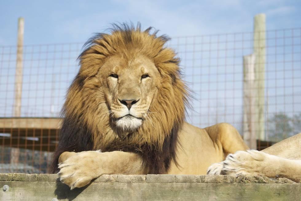 Resultado de imagen de un leon