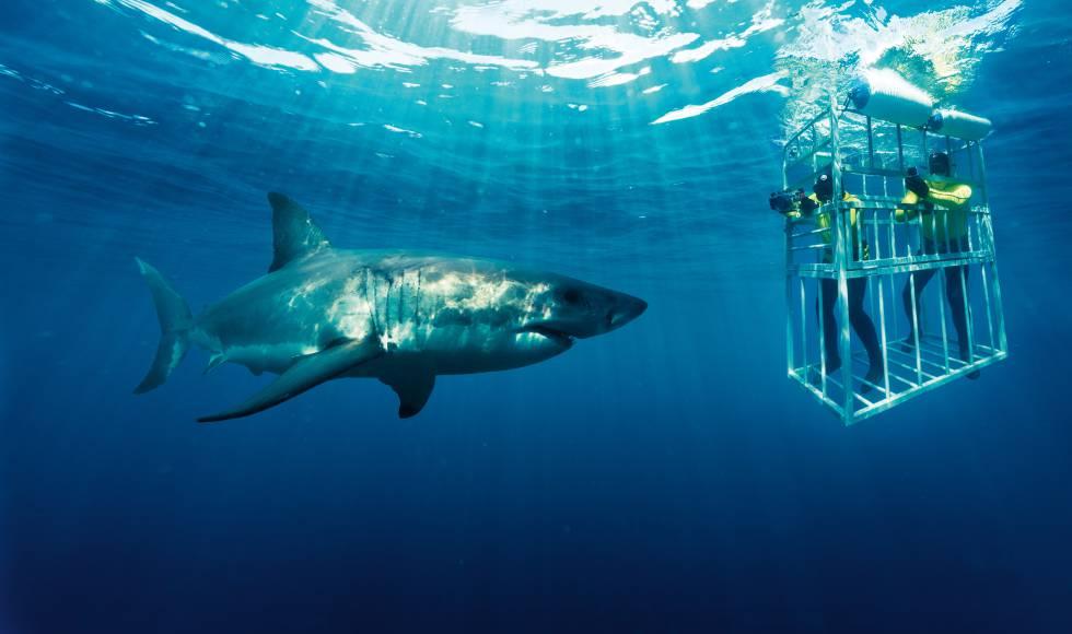Buceo con tiburones blancos en Gansbaai, Sudáfrica.