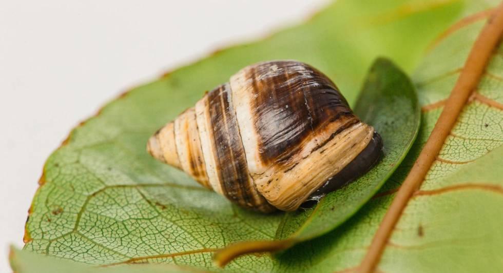 Una imagen del solitario caracol 'George'.