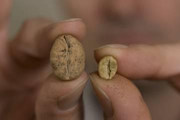 A la derecha, grano de café arabica, a la izquierda uno de café ambongo, de Madagascar y en peligro de extinción.
