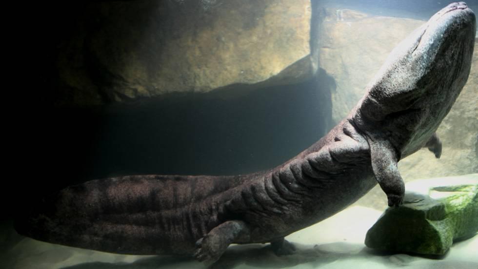 Ejemplar de salamandra gigante china en el zoo de Londres. De no cesar su captura, los expertos creen que solo la cría fuera de su entorno original asegurará la supervivencia de la especie.