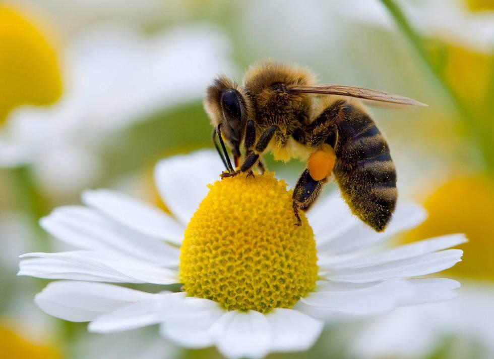 Figura 1. Abeja de la miel (Apis mellifera) polinizando una flor gracias a sus numerosos pelos en cabeza, tórax y patas, siendo unos de los mejores polinizadores del reino animal (Dugatkin, 2013).