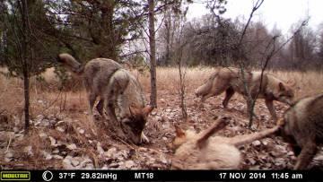 Lobos captados por las cámaras trampa en la Zona de Exclusión de Chernóbil.
