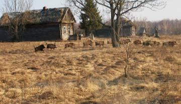 Jabalíes en un pueblo abandonado en la Zona de Exclusión de Chernóbil.