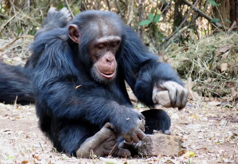 Un chimpancé se sirve de piedras para romper la cáscara de frutos secos.