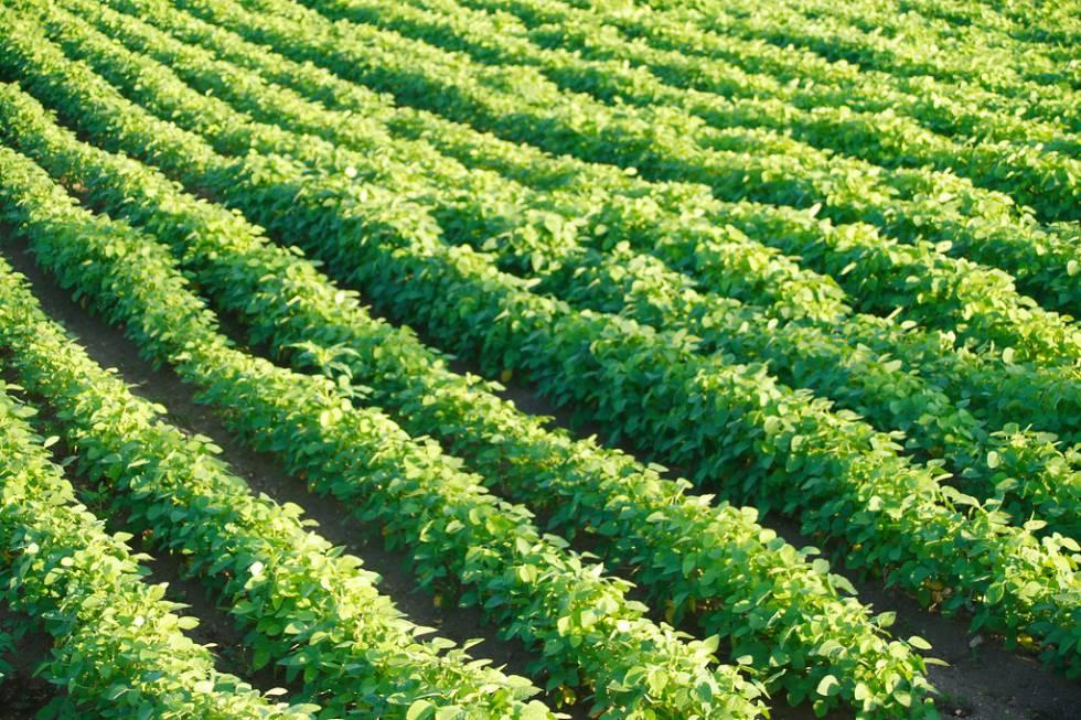 Plantación de soja.