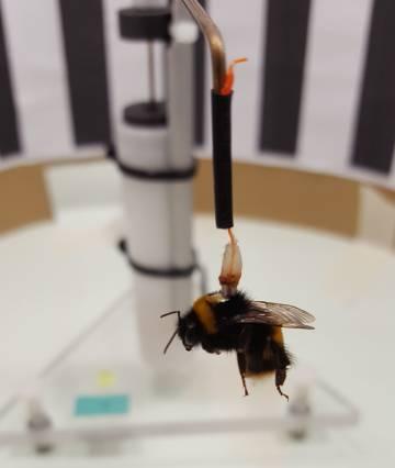 Los abejorros volaban suspendidos gracias a unos imanes y una pequeña placa de hierro sobre su tórax.