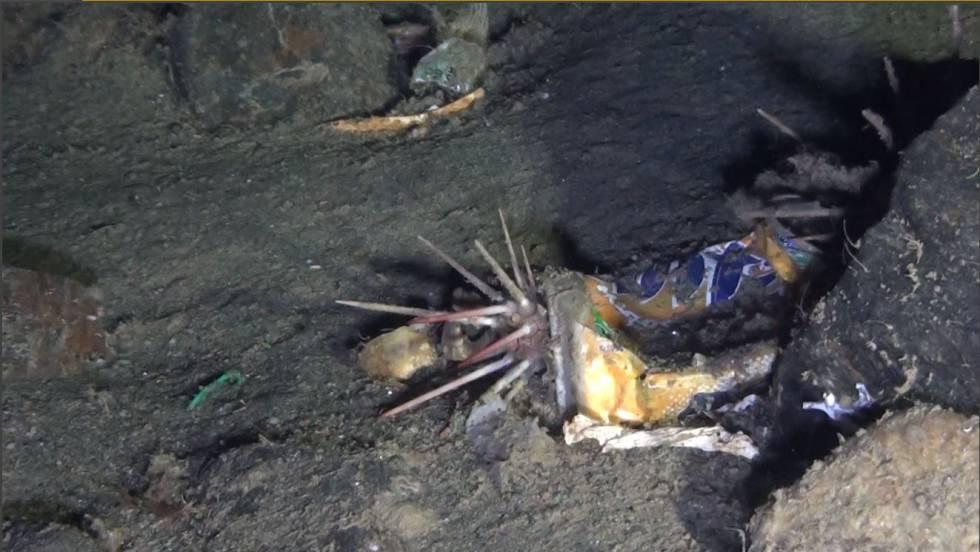 Un erizo se refugia en una lata de refresco.