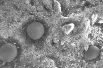 Imagen de microscopio de los microbios esféricos hallados en Dallol.