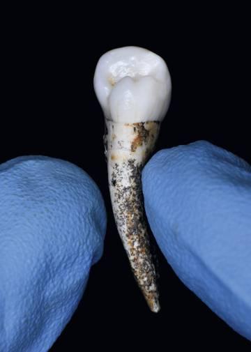 Un diente conservado en el CENIEH.