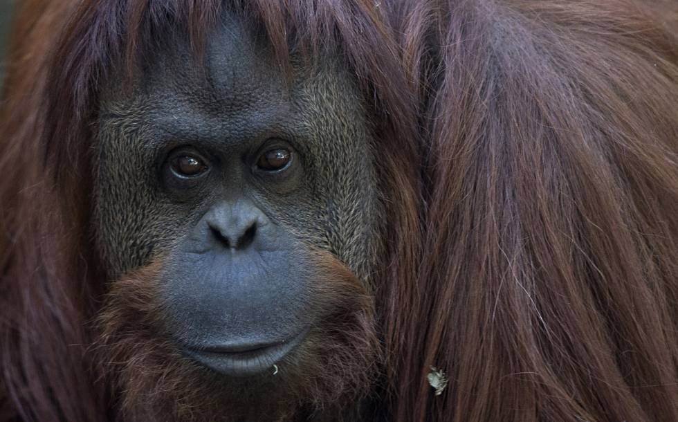 La mirada de la orangutana impresiona. El encierro la deprime: si no la estimulan, permanece inactiva la mitad del día.