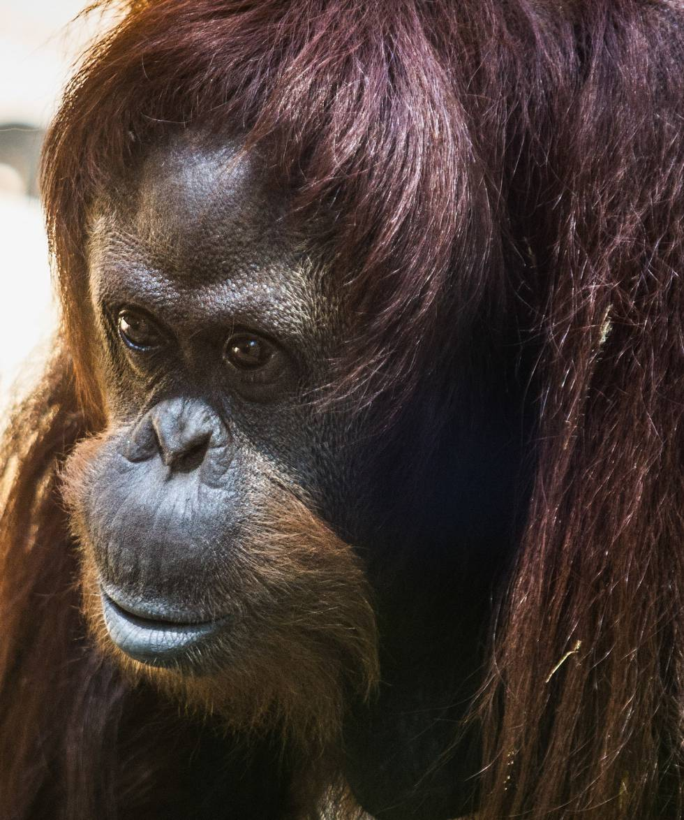 Sandra, fotografiada en el Ecoparque, antiguo zoológico de Buenos Aires.