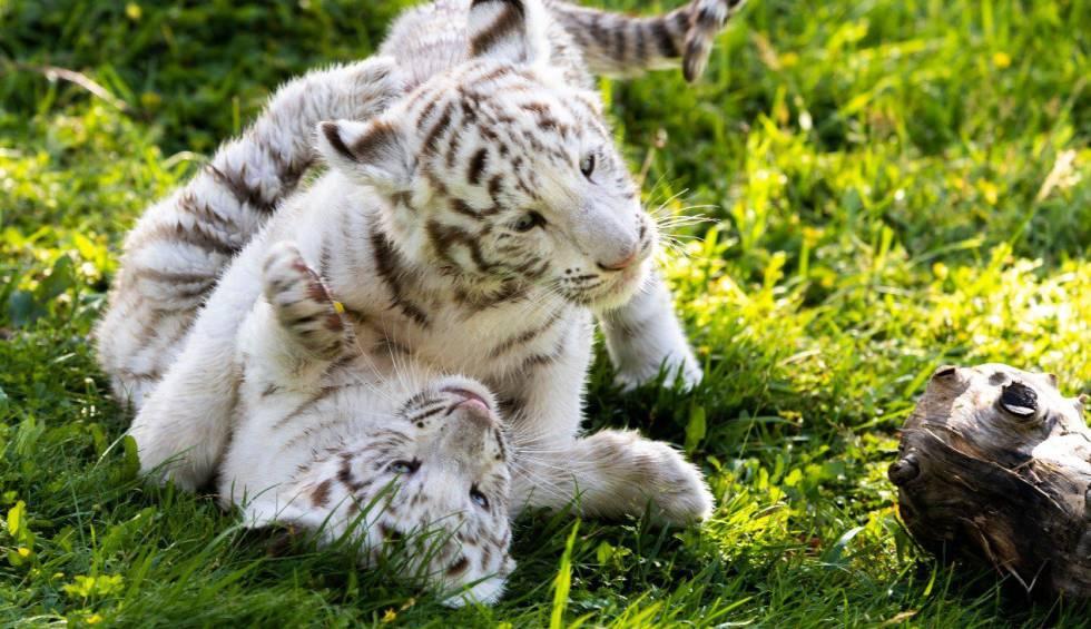 Dos crías de tigre blanco, una especie en peligro de extinción, crecen en el parque navarro Sendaviva