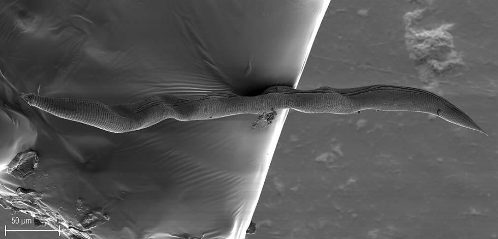 Imagen completa del nematodo 'Nothacrobeles lanceolatus'.