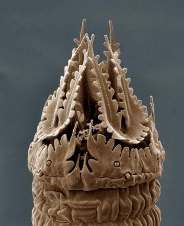Sección del 'Nothacrobeles lanceolatus'