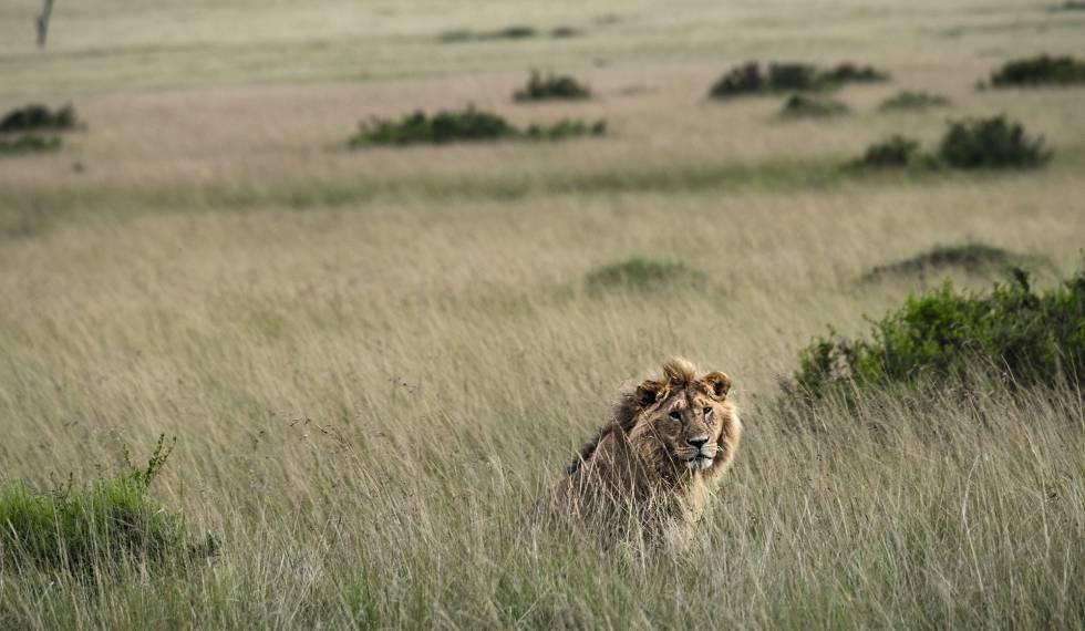 Um leão no mato alto é difícil de ser avistado até já estar bem perto