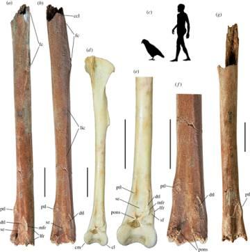 Fósiles hallados y simulación del tamaño de Heracles junto a una persona.