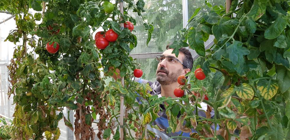 El científico del Instituto de Biología Molecular y Celular de Plantas José Luis Rambla examina una cepa de tomates modificados con CRISPR para no producir alérgenos.