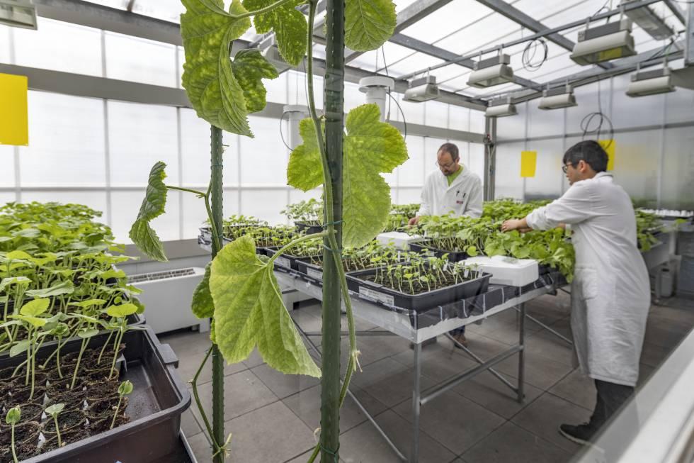 Un invernadero en el Centro de Investigación de Agrigenómica, en Barcelona.