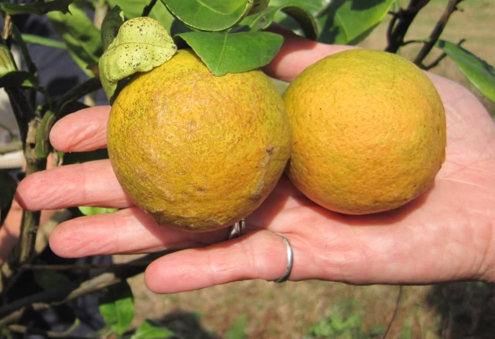 Sin armas contra la peste que está aniquilando los naranjos del planeta