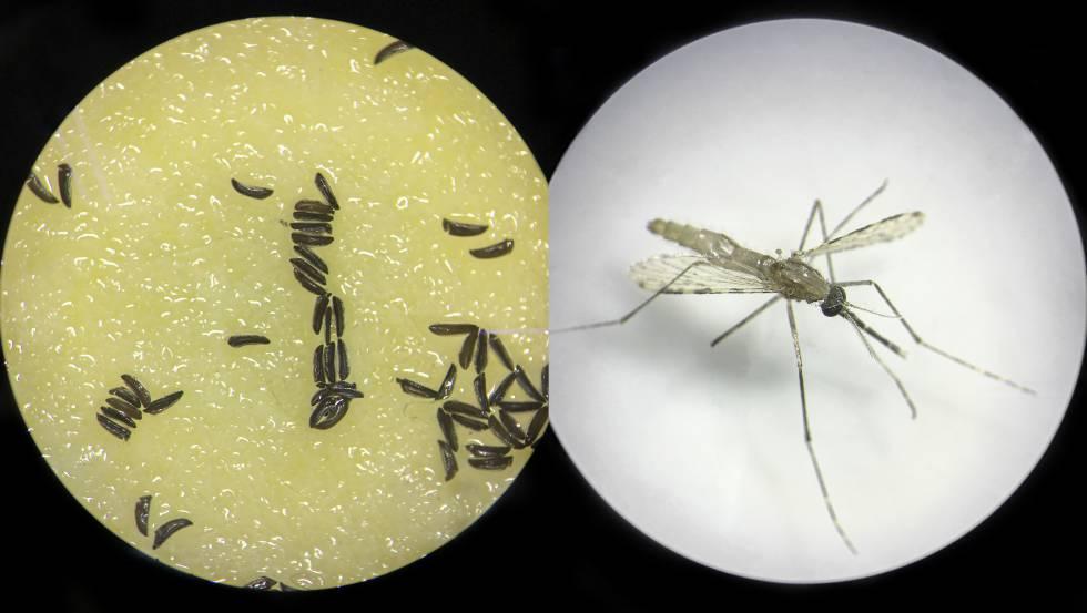Un ejemplar de mosquito modificado genéticamente y huevos de este insecto, observados al microscopio.