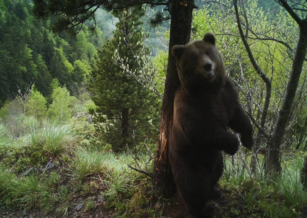 El oso 'Cachou' mata a una yegua adulta en el valle de Aran, el quinto ataque en dos semanas