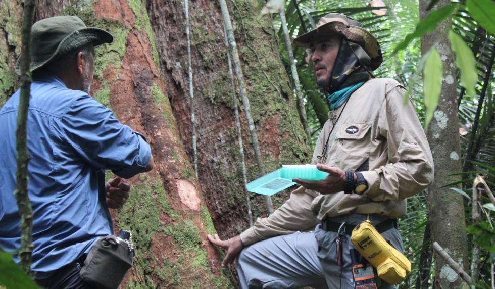Investigadores de los árboles gigantes de la Amazonia