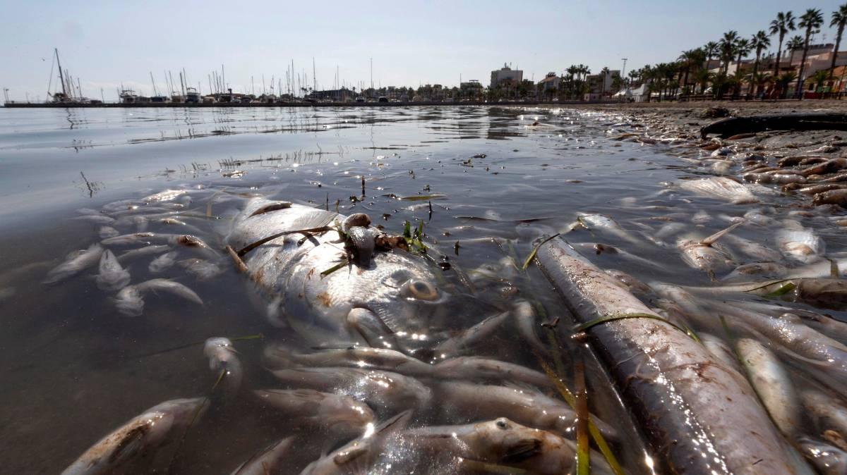 Peces muertos en una playa del Mar Menor.