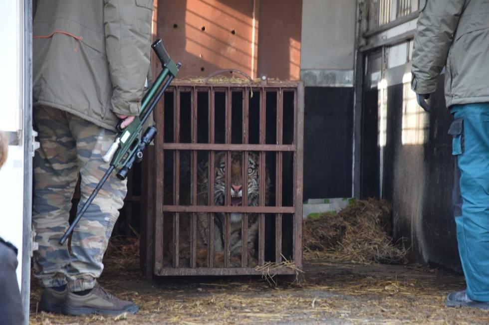 Uno de los tigres, dentro de la diminuta jaula.