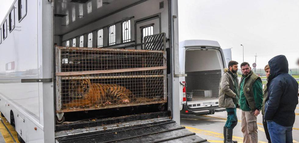 Uno de los felinos, dentro del camión de caballos en Koroszczyn .