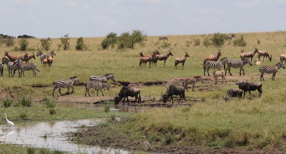 Un grupo compuesto por varias especies compartiendo pastos en Masai Mara.