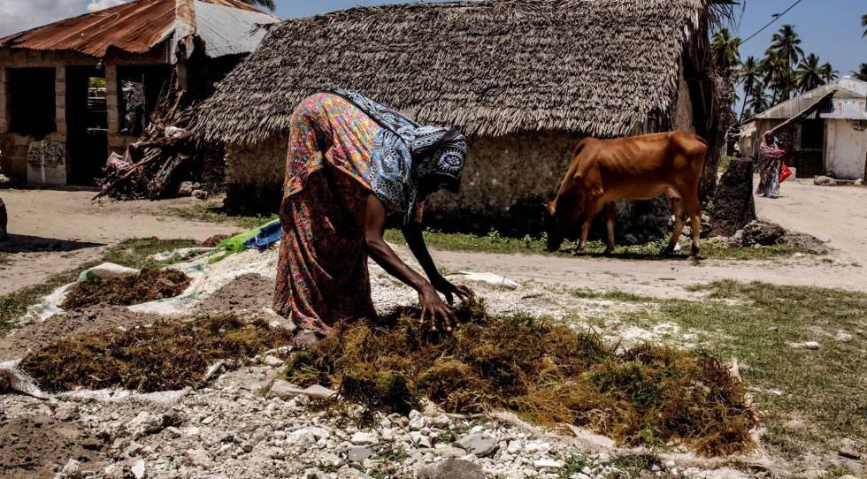 Una mujer recoge un cultivo de algas a orillas del océano Índico en Bjwejuu.