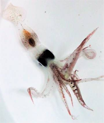 The squid, one of the animals that feeds on the surface of the sea.