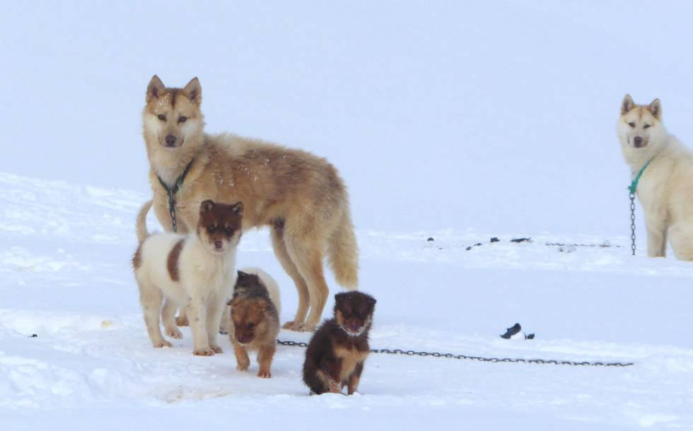 Greenland sled dogs, the current breed more similar to the one used by the Eskimos to conquer the Arctic 1,000 years ago.