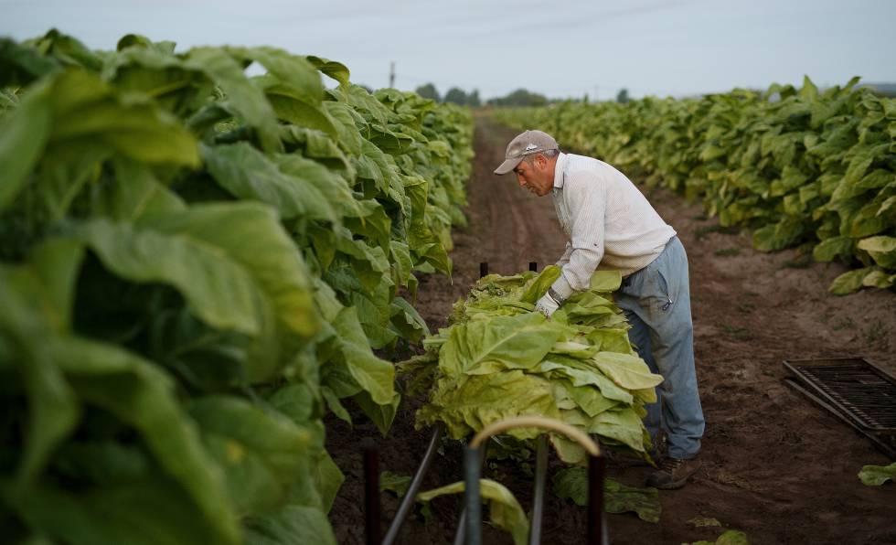 Un trabajador en una cosecha de tabaco en Extremadura (España).