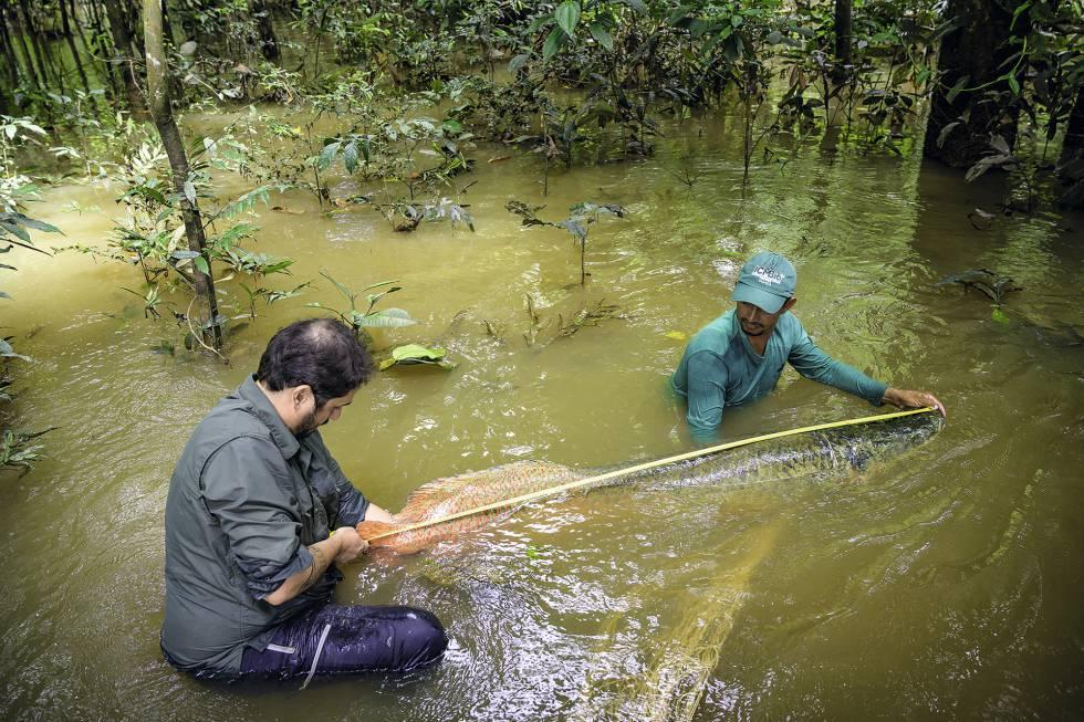 Campos-Silva y un colaborador miden el largo de un arapaima, en la Amazonia.