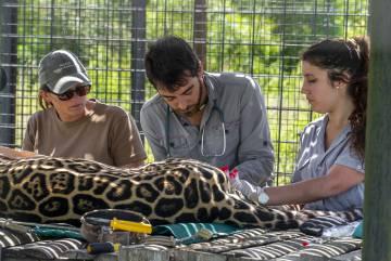 Personal de Rewilding Argentina controla un ejemplar de yaguareté.