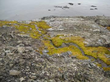 Los musgos frágiles y las comunidades de líquenes de la Antártida son vulnerables a la invasión de plantas e invertebrados no nativos.