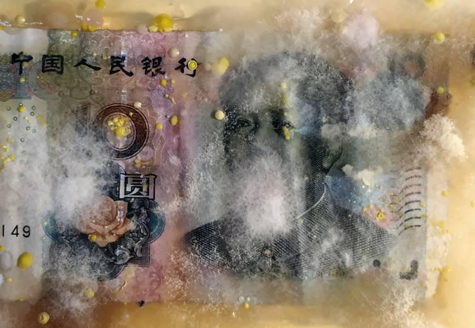 Un billete chino en la exposición de Rinaldo tras semanas de cultivo.