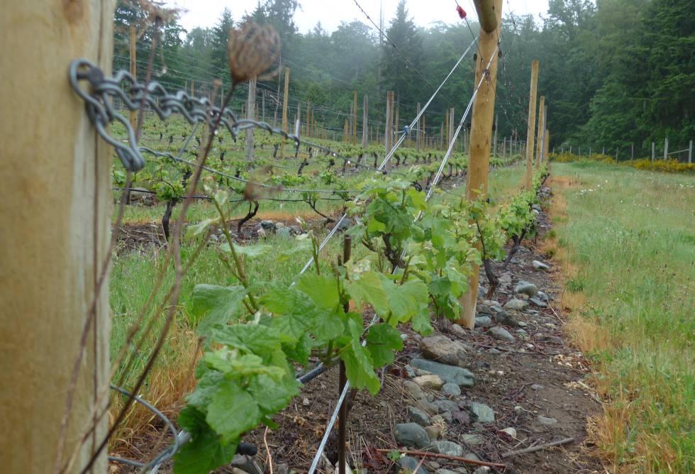 Con el cambio climático, los viñedos de regiones tan al norte como la isla de Vancouver (como el de la imagen) podrán albergar más variedades de uva.