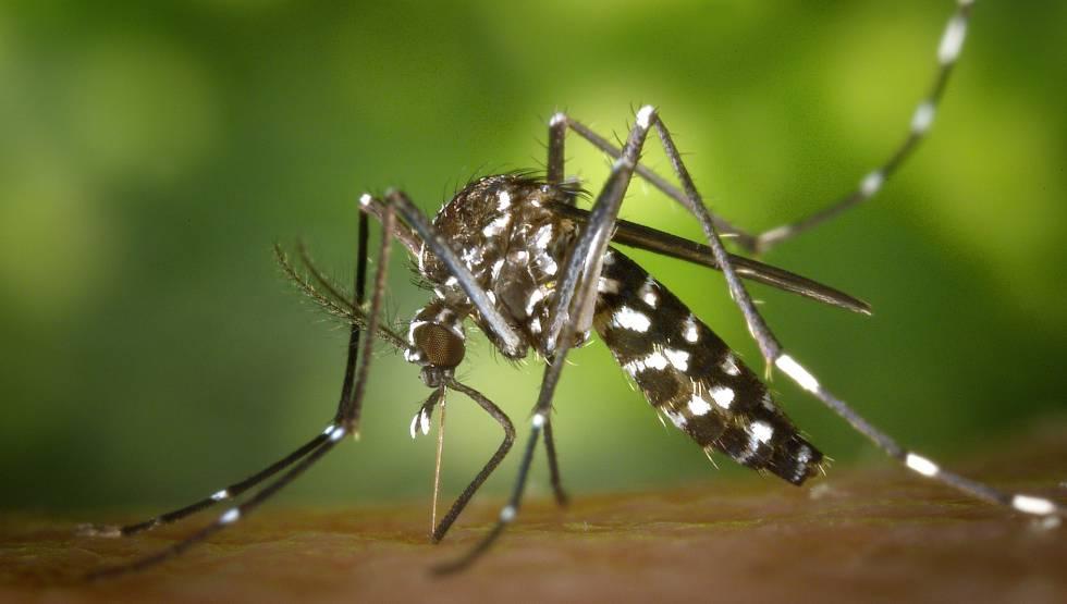 Un mosquito tigre en plena succión.