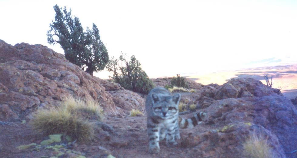 Primera foto de un gato andino con cámara trampa, tomada en Boivia en 2001.