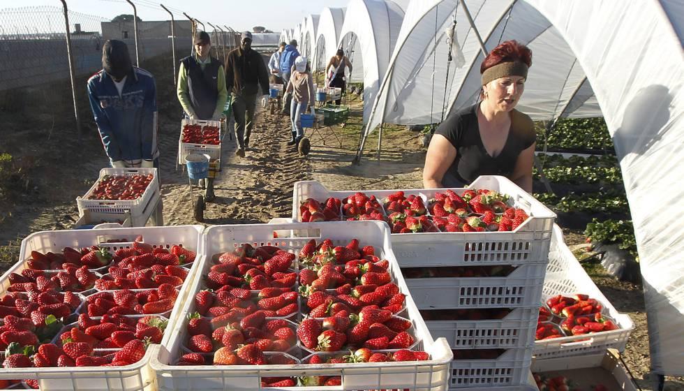 Trabajadores de un campo de fresas en Huelva.