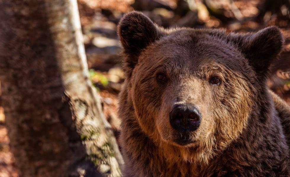 Uno de los osos del santuario en el norte de Nymfeio.