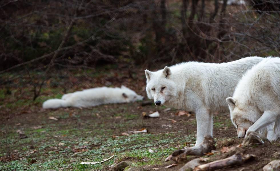 Tres lobos en el santuario de Agrapidia entre los huesos de la comida proporcionada por Arcturos.
