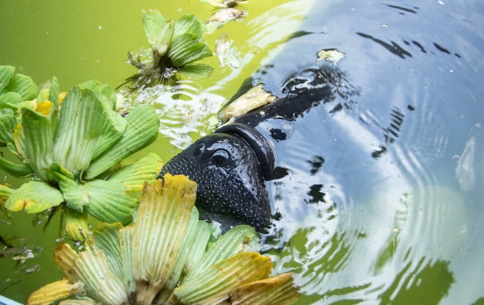 Alegría, una manatí hembra que está dejando la adolescencia, comienza a devorar plantas acuáticas. Más pequeña no hubiera podido hacerlo.