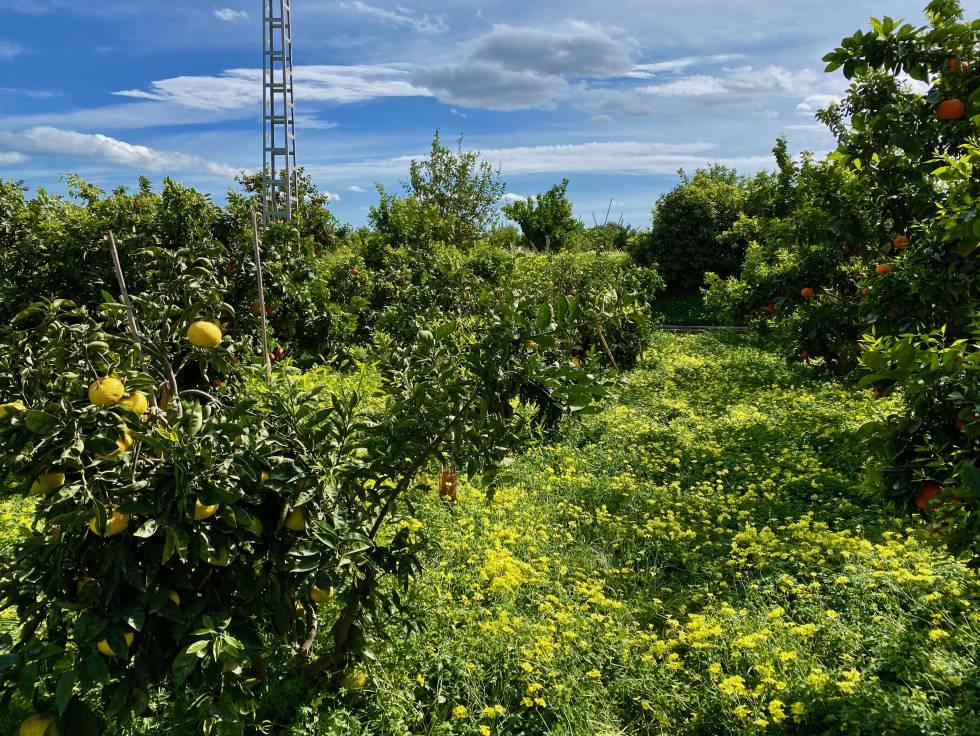Los cítricos de Vicente Todolí, un viaje entre la botánica y la cocina