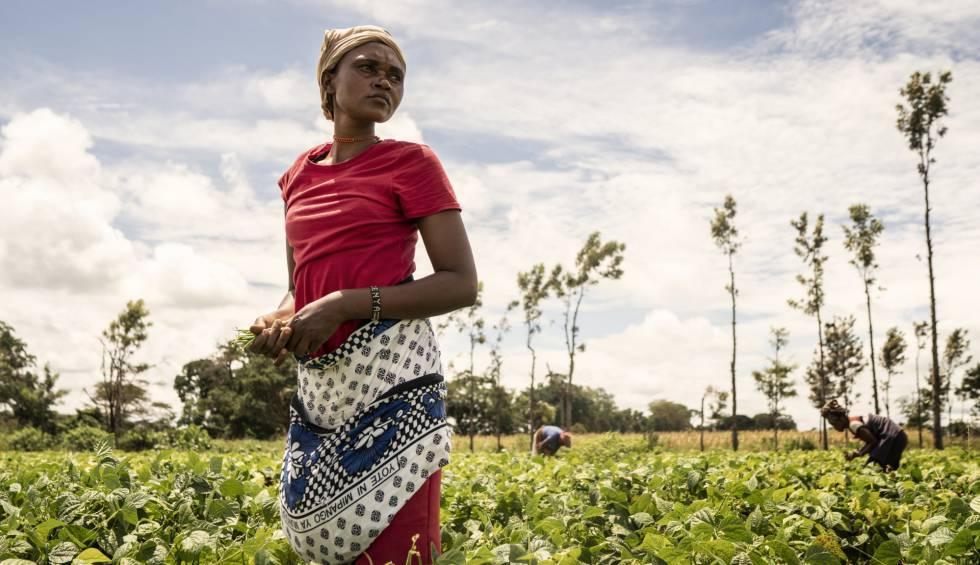Una agricultura, en una plantación de una cooperativa de judías en Kenia.