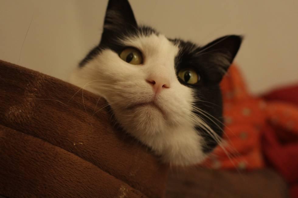 Moncho, gato del autor de este reportaje.