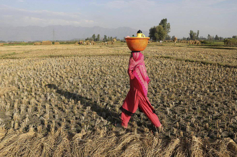 Una mujer en un campo de arroz en Ahmedabad (India).
